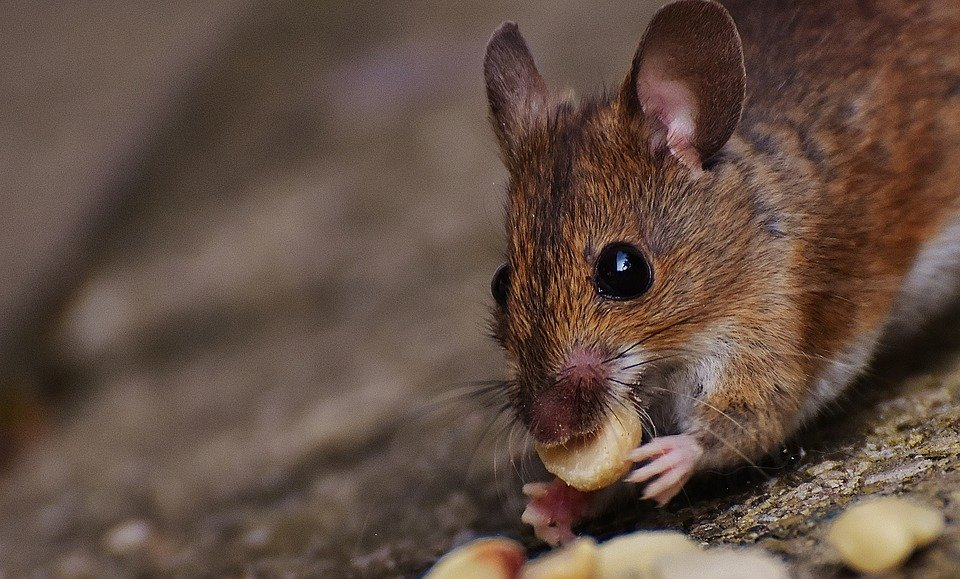 Pest-Proofing: How to Keep Mice out of Cars